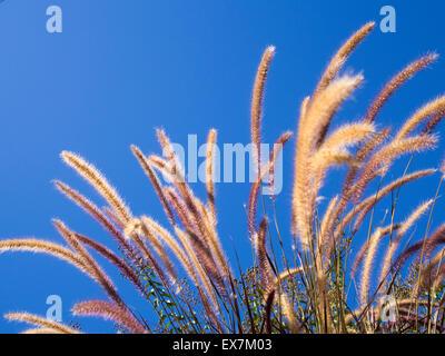 Purple Fountain grass forme dans la brise contre ciel bleu clair