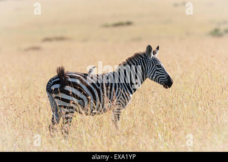 Zebra dans la savane du Kenya Banque D'Images