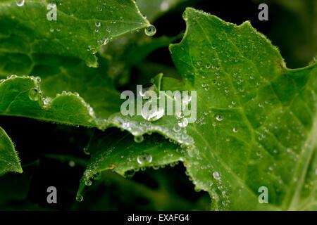 Close-up of a leaf et gouttes d'eau sur l'arrière-plan il Banque D'Images