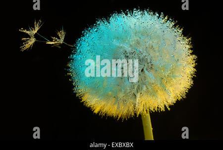 Fleur de pissenlit (Taraxacum) dans la rosée du matin.(Asteraceae).(Taraxacum officinale). Banque D'Images