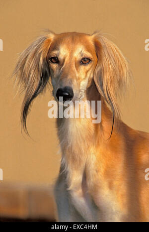 Magnifique chien Saluki ou Greyhound persan, homme, portrait Banque D'Images