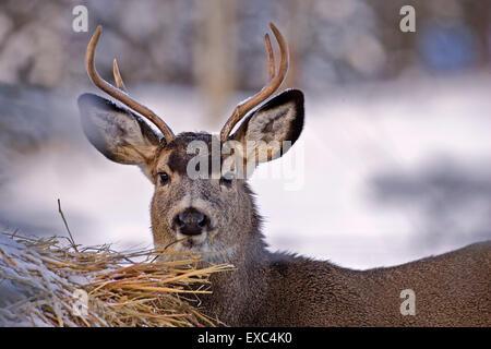 Mule Deer buck en hiver, debout près de balles de foin. Banque D'Images