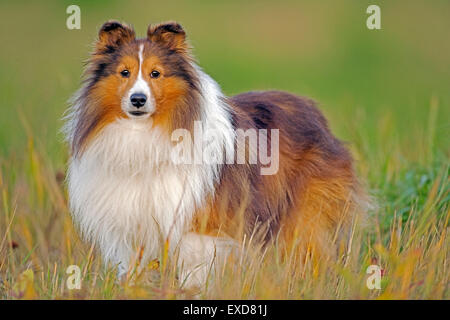 Shetland Sheepdog standing in meadow, automne Banque D'Images
