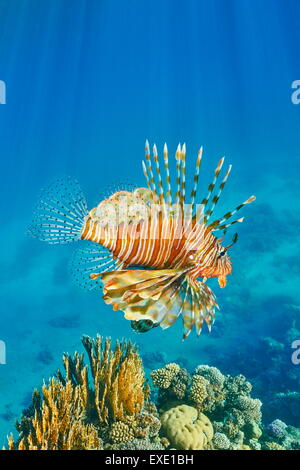 Plus de poisson lion Pterois volitans, Reef, Dahab, Sinai, Red Sea, Egypt Banque D'Images