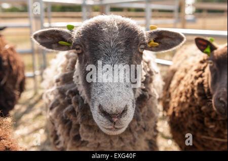 Noir gris et brun foncé moutons Shetland en attente prêt à la plume d'être cisaillé du regard et attentif de ce qui se passe à proximité