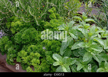 Soulevées lit pour les herbes, menthe, persil frisé, et le romarin en cuisine Banque D'Images