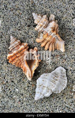 Sting winkle / forage / huître (Murex Ocenebra erinacea) coquillages lavés sur beach