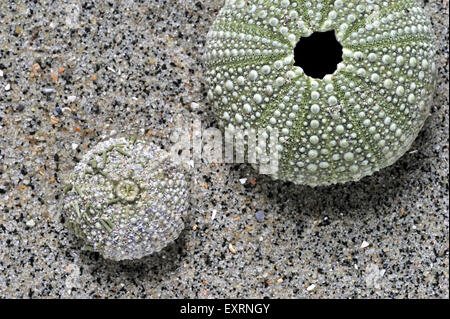 Les oursins verts / shore sea urchin (Psammechinus miliaris) lavés on beach Banque D'Images
