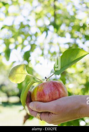 Femme hand holding apple fraîchement cueillies