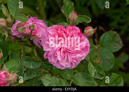 Gertrude Jekyll Rose Banque D'Images
