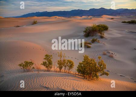 Télévision Mesquite Sand Dunes - Death Valley NP Californie Miel Mesquite (Prosopis glandulosa torreyana)