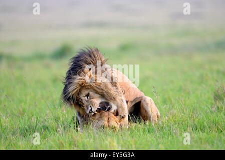 Les Lions dans la savane - Masai Mara, Kenya Banque D'Images