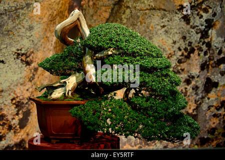 If japonais bonsai
