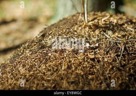 Des fourmis dans la forêt rouge fourmilière Macro Photo.Profondeur de champ
