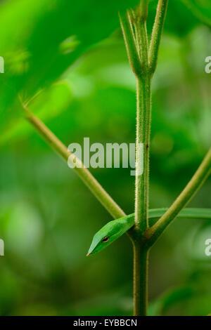 Serpent de vigne verte Banque D'Images