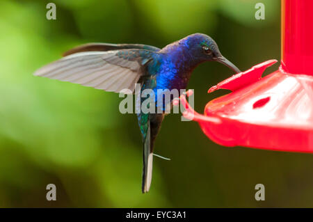 Campyloptère violet Hummingbird, Jardins De La Cascade La Paz, Costa Rica