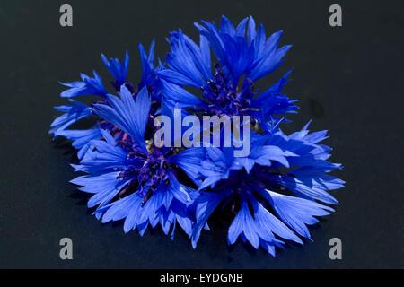 Centaurea cyanus Kornblume;;;; Ackerpflanzen Kornblumen,