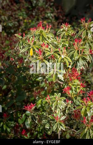 Pieris japonica Flaming Silver Banque D'Images