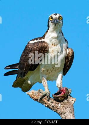 Poisson sans tête avec Osprey. Banque D'Images