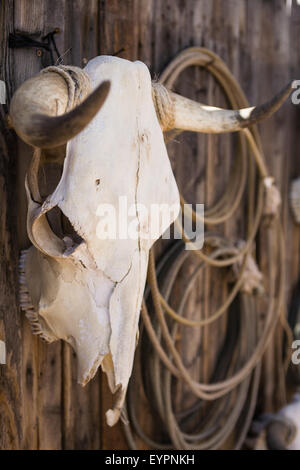 Crâne de vache patiné se bloque avec lariats sur mur ou clôture en bois Banque D'Images