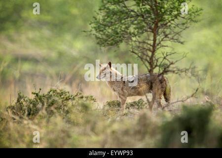 Himalaya indien jackal (jackal) (Canis aureus indicus), Ranthambhore, Rajasthan, Inde, Asie