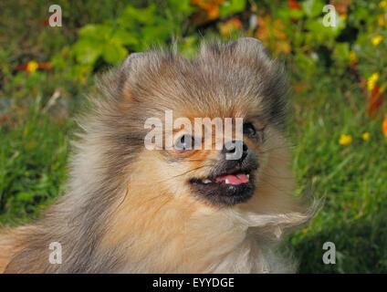 Poméranie (Canis lupus f. familiaris), portrait d'un chien âgé de huit ans, Allemagne Banque D'Images