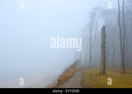 Le hêtre commun (Fagus sylvatica), zones côtières forêt de hêtres et de la Mer Baltique avec le chemin et le brouillard, Banque D'Images