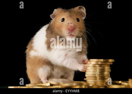Hamster doré (Mesocricetus auratus), hamster doré hoarding Euro-Coins Banque D'Images