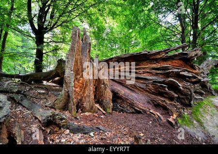 Old dead tree dans l'ancienne forêt de Sababurg, Allemagne, Hesse, Reinhardswald