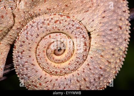 Caméléon panthère (Furcifer pardalis, Chamaeleo pardalis), Queue enroulée d'un caméléon panthère, Madagascar, Nosy Banque D'Images