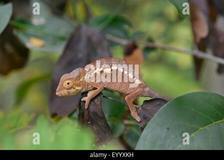 Caméléon panthère (Furcifer pardalis, Chamaeleo pardalis), les jeunes chamaeleon Panther sur une brindille, Madagascar, Banque D'Images