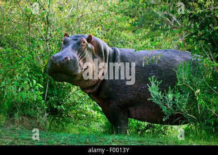 Hippopotame, hippopotame, hippopotame commun (Hippopotamus amphibius), en taillis, Afrique du Sud Banque D'Images