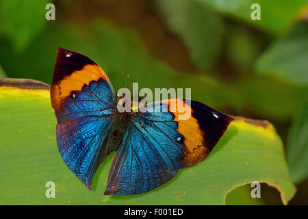 Oakleaf Orange, feuille morte (Kallima inachus), sur une feuille