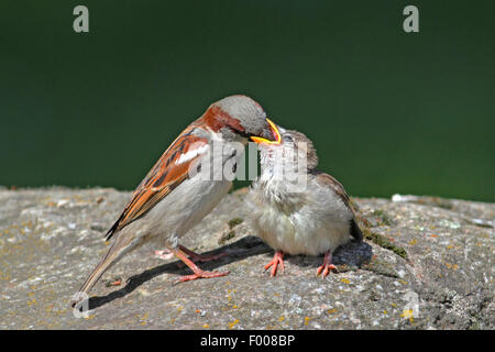 Moineau domestique (Passer domesticus), l'alimentation mâle chick, Allemagne
