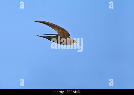 (Apus apus swift eurasien), en vol, vue de côté, l'Allemagne, Bade-Wurtemberg