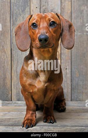 Teckel à poil court, à poil court, chien saucisse chien domestique (Canis lupus f. familiaris), homme chien assis Banque D'Images