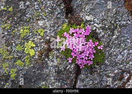 Le silène acaule, coussin Rose (Silene acaulis), la floraison, Allemagne
