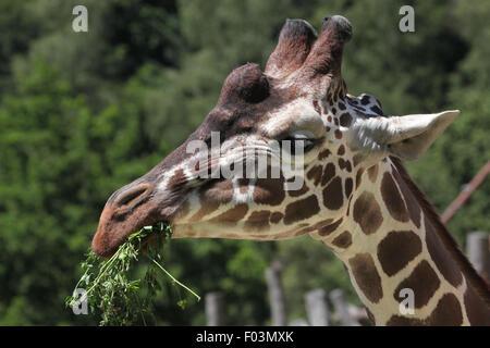 Giraffe réticulée (Giraffa camelopardalis reticulata), également connu sous le nom de la Girafe au zoo de Jihlava Jihlava, East Bohemi