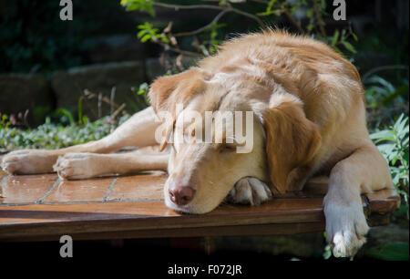 Un Labrador, golden Cross Border Collie chien nommé Indy dort tranquillement tout en profitant du soleil d'hiver Banque D'Images