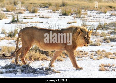 Un homme lion sur un saltpan. Sa destination est un trou d'eau. Banque D'Images