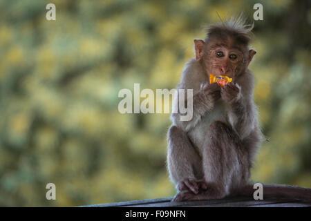 Homme singe macaque bonnet de manger des bonbons en plastique Banque D'Images