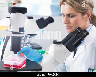 Visualisation scientifique en cultures de cellules souches dans un milieu de croissance sous un microscope inversé Banque D'Images