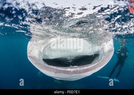 Requin-baleine avec la bouche grande ouverte alors que le regard du plongeur, Cenderawasih Bay, en Papouasie occidentale, Banque D'Images