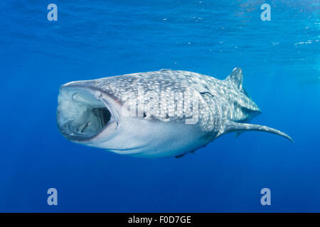 Requin-baleine en ordre décroissant pour les profondeurs avec la bouche grande ouverte, Cenderawasih Bay, en Papouasie Banque D'Images