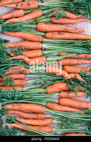 Daucus carota. Carottes biologiques fraîchement creusée Banque D'Images
