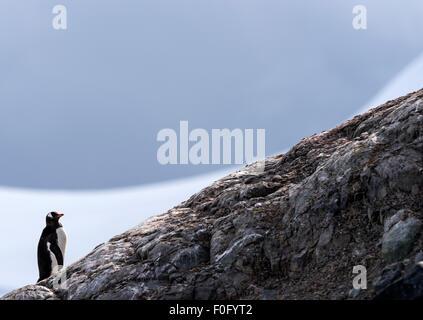 Gentoo pingouin debout sur rock Mikkelsen Harbour Péninsule Antarctique Antarctique