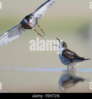 Flying sterne naine rss un poussin au bord du lac