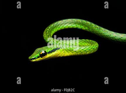 La serpent de vigne (Oxybelis brevirostris), snake (Colubridae), Chocó rainforest, Équateur