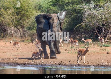 Bull d'éléphants d'Afrique (Loxodonta africana), Kruger National Park, Afrique du Sud
