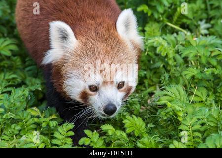 Le panda rouge close up of face Banque D'Images